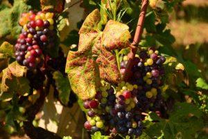Dubrovnik To Korčula Day Trip Pelješac Vineyards